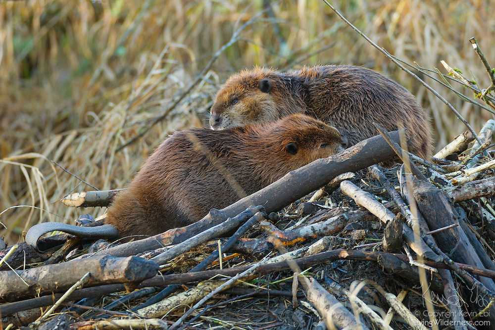 Two North American Beavers (Castor canadensis) groom each other on the top of their lodge in North Creek, Bothell, Washington. Beavers are typically most active at night and spend the winter in the safety of their lodges. During significant floods, however, the beavers climb on top of their lodges, waiting for the waters to recede.