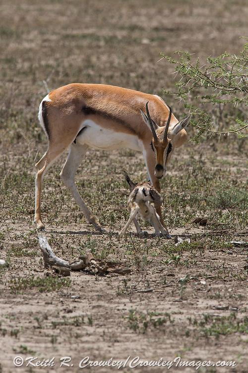 Newborn Thompson's gazelle nursing