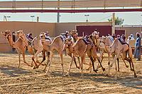 Ash-Shahaniyah Qatar -December 27 , 2019 : traditional camel dromadery race with robots instead of jockey