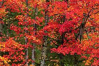 Colorful fall foliage in Acadia National Park, Maine, USA