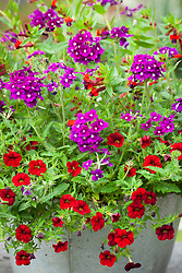 Verbena lanai Royal Purple White Eye with Calibrachoa 'Red' (Million Bells) and Cuphea Tiny Mice in a galvanised pot