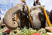 "29 AUGUST 2013 - HUA HIN, PRACHUAP KHIRI KHAN, THAILAND: Elephants eat fruit at a fruit buffet during the King's Cup Elephant Polo tournament in Hua Hin. The tournament's primary sponsor in Anantara Resorts and the tournament is hosted by Anantara Hua Hin. This is the 12th year for the King's Cup Elephant Polo Tournament. The sport of elephant polo started in Nepal in 1982. Proceeds from the King's Cup tournament goes to help rehabilitate elephants rescued from abuse. Each team has three players and three elephants. Matches take place on a pitch (field) 80 meters by 48 meters using standard polo balls. The game is divided into two 7 minute ""chukkas"" or halves. There are 16 teams in this year's tournament, including one team of transgendered ""ladyboys.""    PHOTO BY JACK KURTZ"
