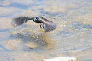 Common Grackle flying away after diving into the water in a small stream in Ithaca, NY.