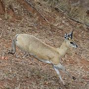 Klipspringer (Oreotragus oreotragus), Mala Mala Game Reserve, South Africa.
