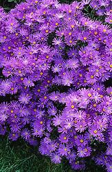 Aster amellus 'Violet Queen' syn. Aster amellus 'Veilchenkönigin'