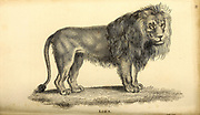Lion from General zoology, or, Systematic natural history Part I, by Shaw, George, 1751-1813; Stephens, James Francis, 1792-1853; Heath, Charles, 1785-1848, engraver; Griffith, Mrs., engraver; Chappelow. Copperplate Printed in London in 1800. Probably the artists never saw a live specimen