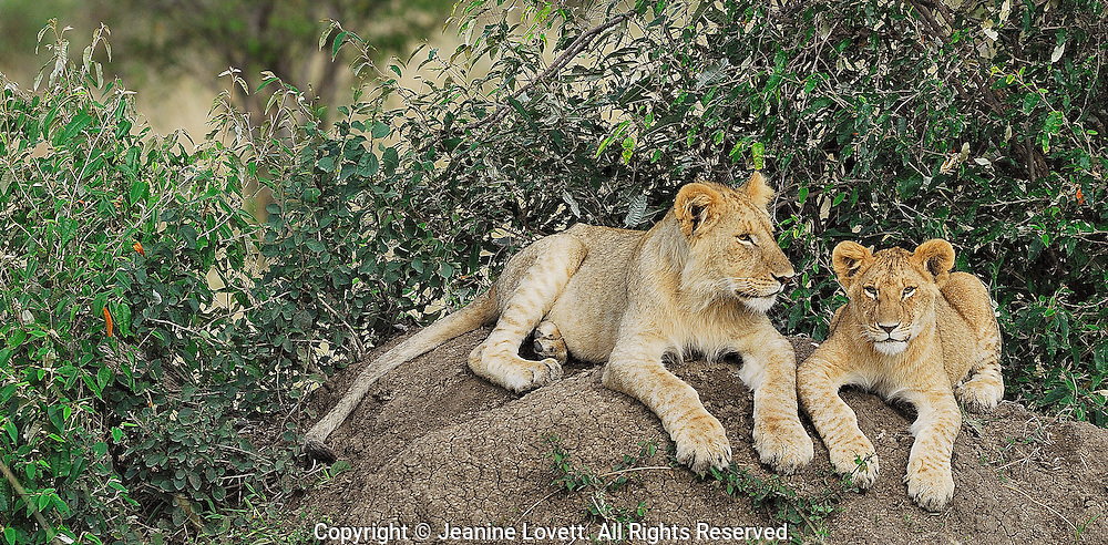 Two lion cubs lay down on a termite mound together.