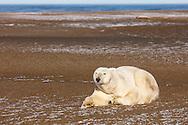 Polar bear (Ursus maritimus) resting on Barter Island near Kaktovik in the Arctic National Wildlife Refuge in the Far North of Alaska. Autumn. Morning.