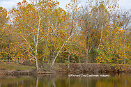 63876-02801 Fall color Sycamore trees at Pyramid State Park Perry Co. IL
