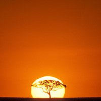 Africa, Kenya, Masai Mara Game Reserve, Acacia tree silhouetted by rising sun on savanna