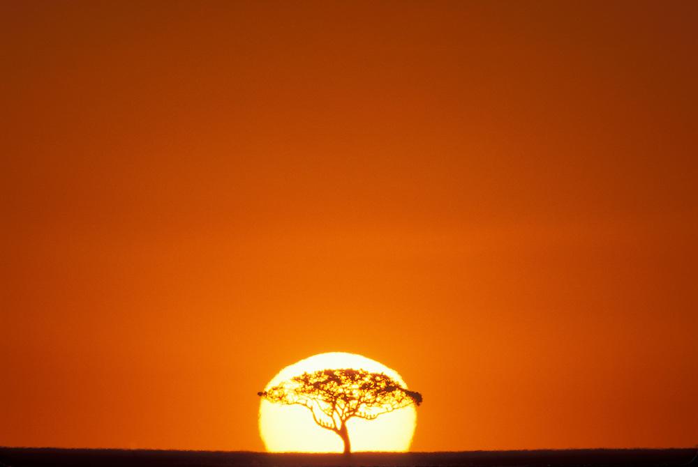 Africa, Kenya, Masai Mara Game Reserve, Acacia tree silhouetted by rising sun on savanna