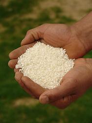 Amostra de arroz/ Rice sample