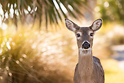 Deer roaming freely on Fripp Island, SC.