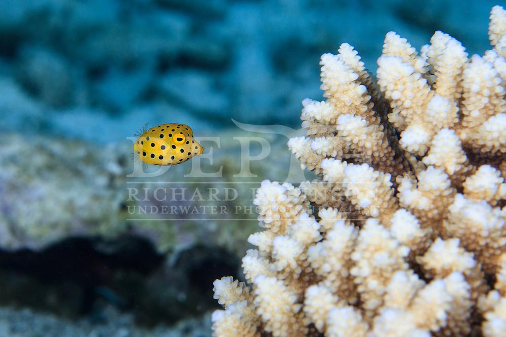 Ostracion cubicus (Yellow Boxfish) juvenile in the Nikao Lagoon, Rarotonga, Cook Islands.<br /> Saturday 18 July 2015<br /> Photograph Richard Robinson © 2015.