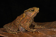 South American Common Toad (Rhinella margaritifera complex)<br /> CAPTIVE<br /> Central ECUADOR. South America<br /> RANGE: South America<br /> Tropical, lowland moist forests
