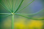Desert parsley, spring, Kittitas County, Washington, USA