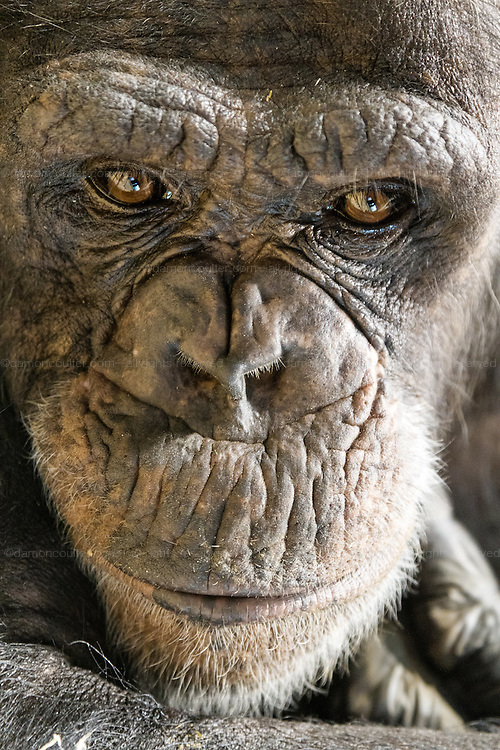 Portrait of a female chimpanzee at Zoorasia, Yokohama, Kanagawa, Japan. Friday October 10th 2014