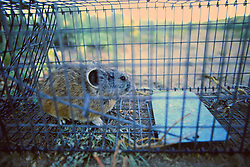 Pika In Cage