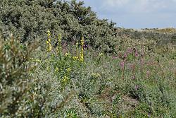 Keizerskaars, Verbascum phlomoides