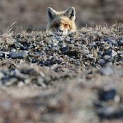 Red Fox in Alaska.