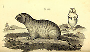 Bobac (Bobak marmot) from General zoology, or, Systematic natural history Vol 2 Mammalia, by Shaw, George, 1751-1813; Stephens, James Francis, 1792-1853; Heath, Charles, 1785-1848, engraver; Griffith, Mrs., engraver; Chappelow. Copperplate Printed in London in 1801 by G. Kearsley
