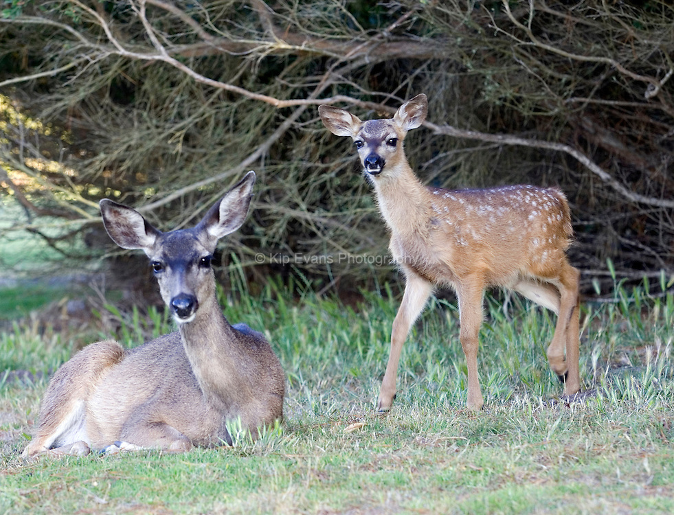 A mother and fawn black tail deer rest under a shaded tree.