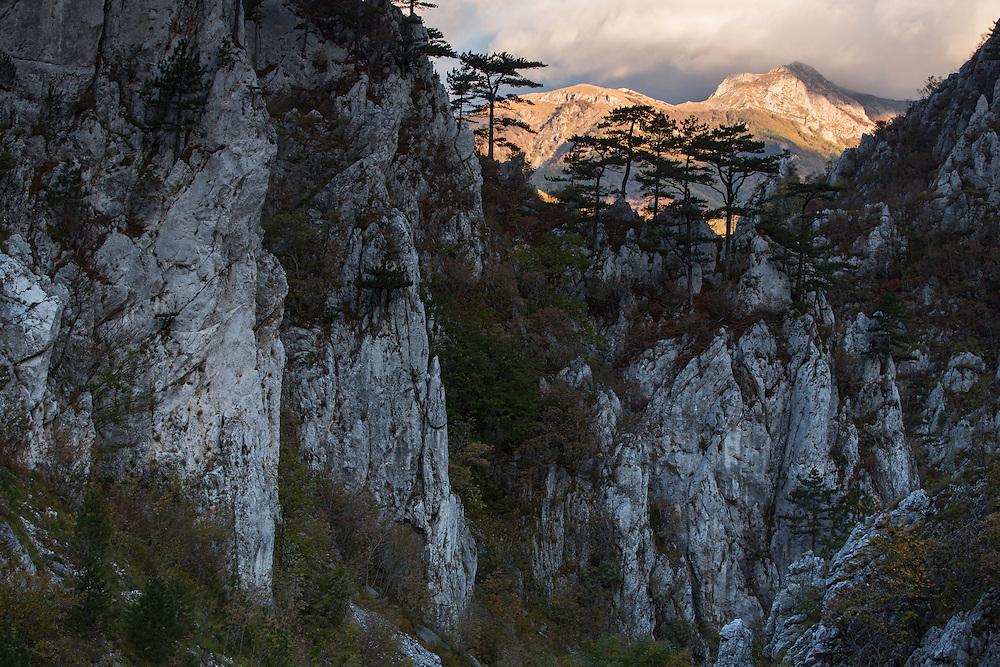 Black pine (Pinus nigra var. bannatica), endemic subspecies, growing on a ridge in Domogled Valea Cernei National Park, Baile Herculane, Caras Severin,  Romania.