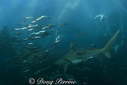 bronze whalers, or copper sharks, Carcharhinus brachyurus, and Cape gannets, Sula capensis, plunge into a baitball of sardines, to feed, Transkei, South Africa ( Indian Ocean )