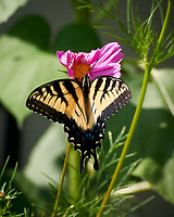 Tiger Swallowtail Butterfly on a Cosmos Flower. Image taken with a Nikon 1 V3 camera and 70-300 mm VR lens.