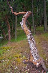 Crazy Madrona (Arbutus menziesii) Tree at Prevost Harbor Campsite, Stuart Island, San Juan Islands, Washington, US
