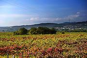 vineyeards of Alvarinho near Monção. Alvarinho is most famouse quality of vinho verde.