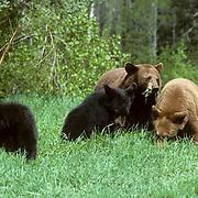 Black Bear, (Ursus americanus) Minnesota, cinnamon sow with yearling cubs grazing in swampy meadow. Spring.