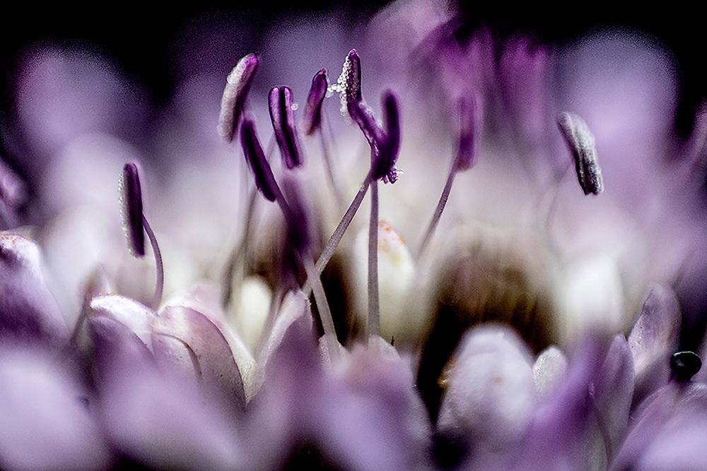 Spontaneous flower of   knautia arvensis  / fiore di Ambretta<br />  <br /> Photo Antonietta Baldassarre