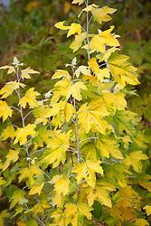 Autumn foliage of Populus alba 'Richardii' - White poplar, Golden leaved poplar
