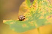 Snail on a maple leaf, woodland around Proscansko lake, Upper Lakes, Plitvice National Park, Croatia