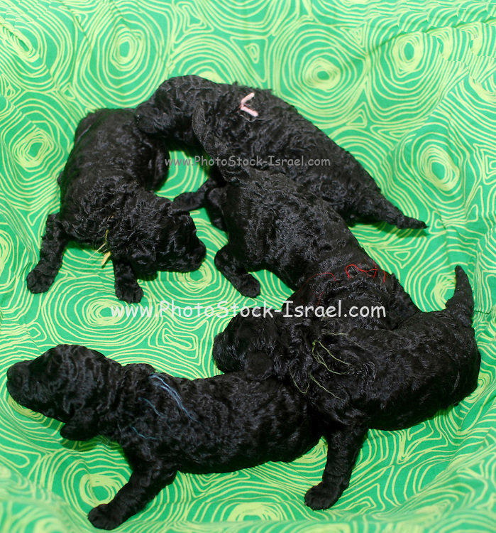Six 12 day old poodle puppies