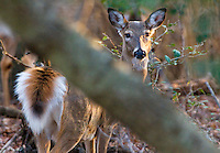 White-tailed deer, Odocoileus virginianus, are found throughout most of the continental United States. White-tailed deer are generalists and can adapt to a wide variety of habitats. Their populations have increased through-out the U.S. So much so that  in many places  winter feeding for the deer is a problem.
