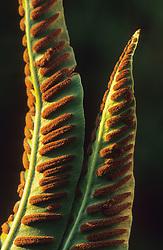 Fern spores on the underside of Asplenium scolopendrium - Hart's Tongue fern