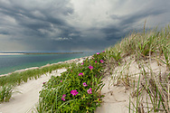 Rugosa roses bloom in the dunes overlooking Sesuit Harbor.