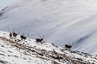 Five big male White-lipped deer bucks, Cervus albirostris, 白唇鹿, running down a snowy hill in Serxu, Garze Prefecture, Sichuan Province, China