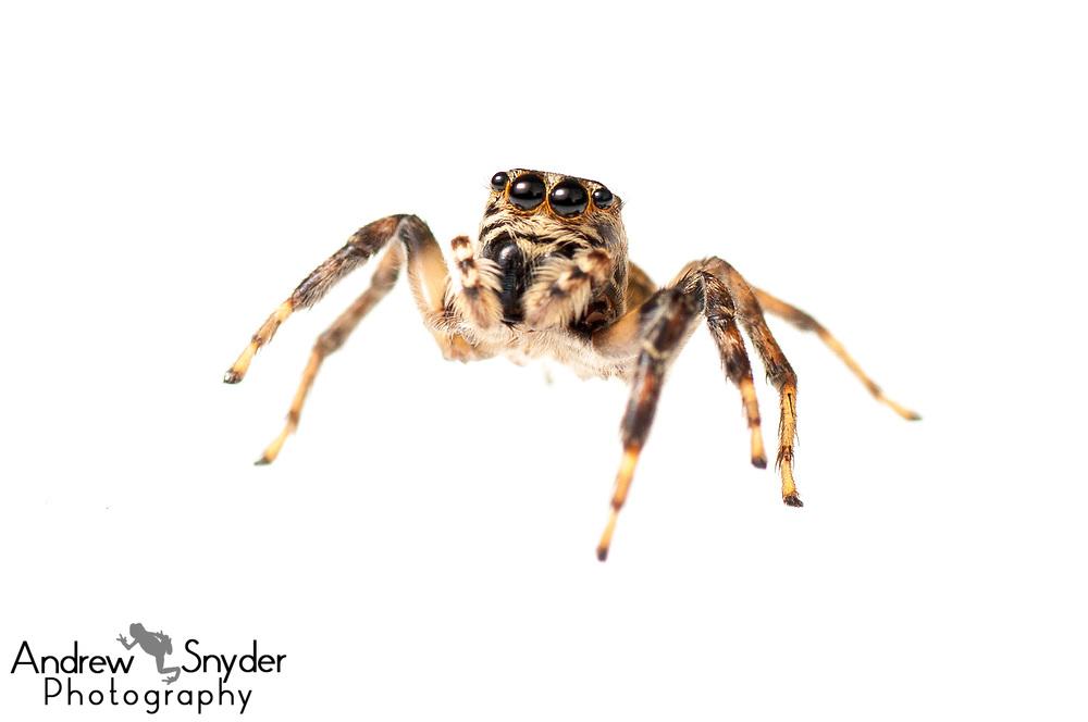 Jumping spider, Salticidae, Iwokrama, Guyana, July, 2013