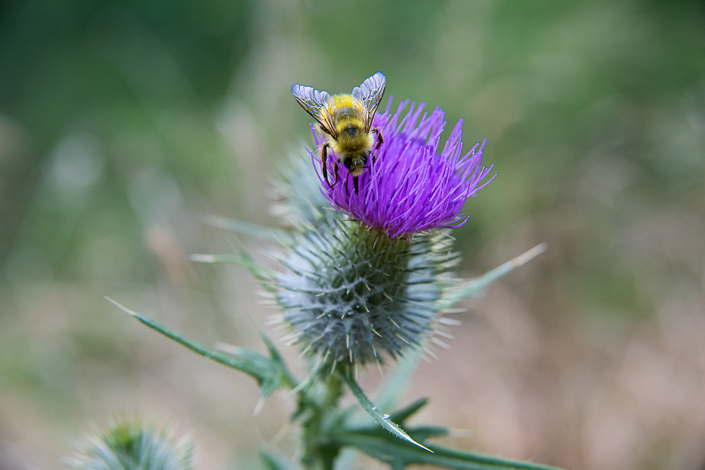 Also simply known as the yellow bumble bee, this colorful and large important nectarivorous pollinator is found throughout most of the Northern United  States and Southern Canada where it lives both above ground and below ground, typically in a location within 50 meters of a large food source (large patch of wildflowers). This particular bee was busily feeding from a bull thistle by Henderson Inlet on the Puget Sound, about five miles from Olympia Washington and a hot summer day.