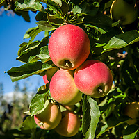Apples on tree at Carter Hill Orchard, Concord NH.