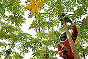Papaya harvest at Dansak Farms, Nsawam, Ghana.