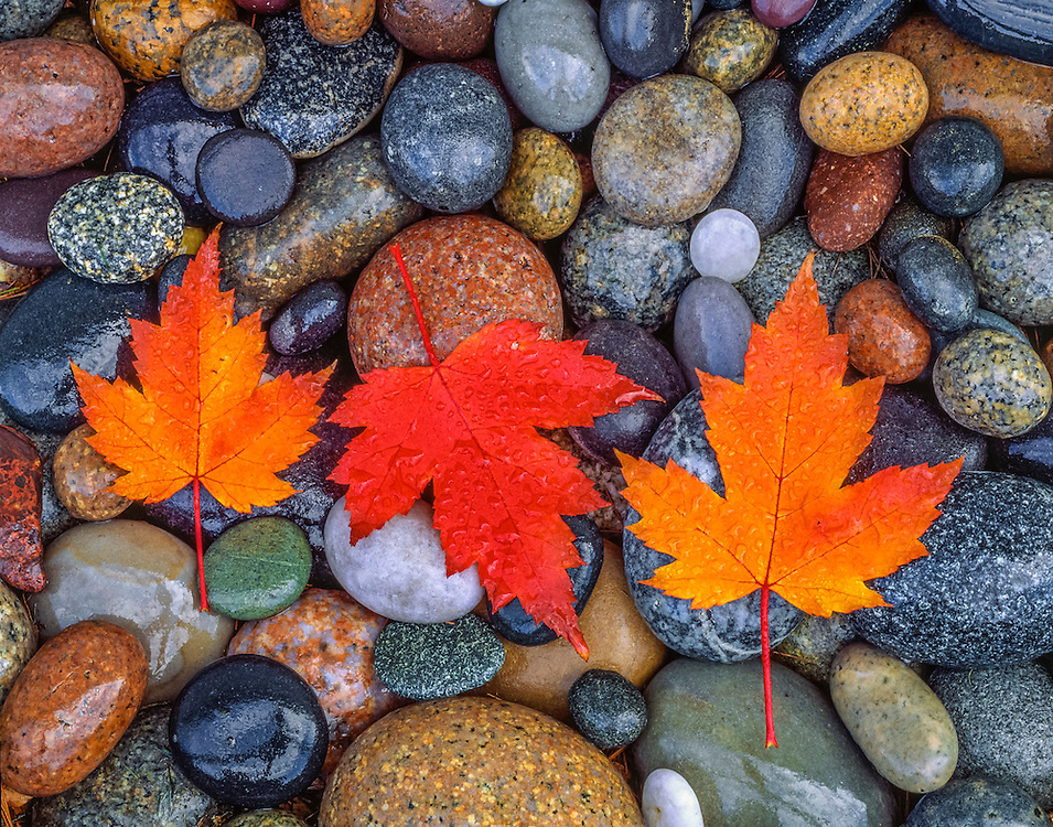 Three bright maple leaves and river rocks wet with rain, Bristol, NH