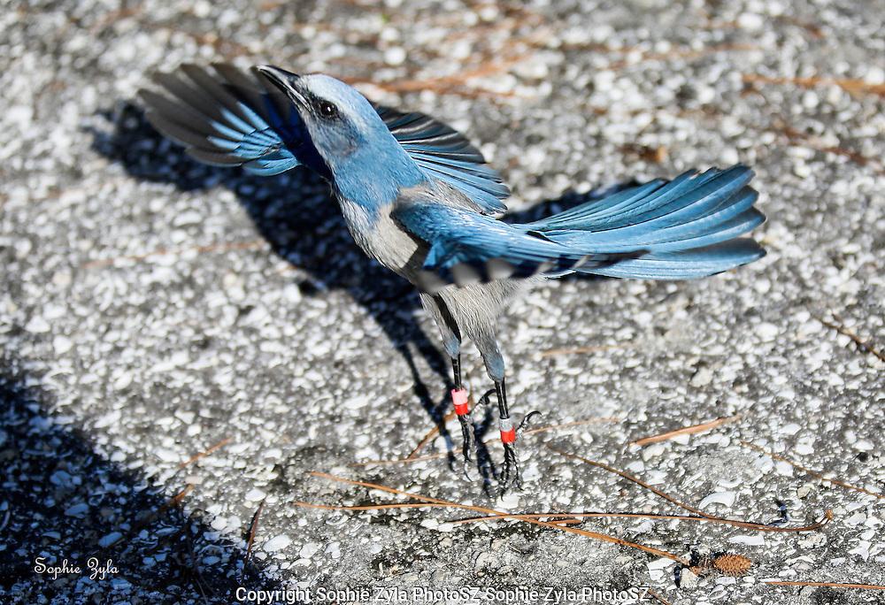 Florida Scrub-Jay Ballet