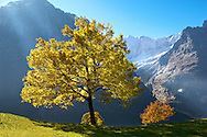 Autumn trees in the Swiss Alps, Grindelwald, Switzerland .<br /> <br /> Visit our SWITZERLAND  & ALPS PHOTO COLLECTIONS for more  photos  to browse of  download or buy as prints https://funkystock.photoshelter.com/gallery-collection/Pictures-Images-of-Switzerland-Photos-of-Swiss-Alps-Landmark-Sites/C0000DPgRJMSrQ3U