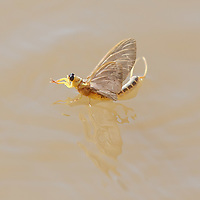 A long-tailed mayfly (Palingenia longicauda) rests on the water during the insects' swarming called Tiszaviragzas (Blooming of Tisza) on the river Tisza in Tiszainoka (some 135 km south-east from Budapest), Hungary on June 20, 2012. ATTILA VOLGYI