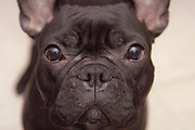 black Boston Bull Terrier