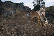 Iberian lynx camera trap